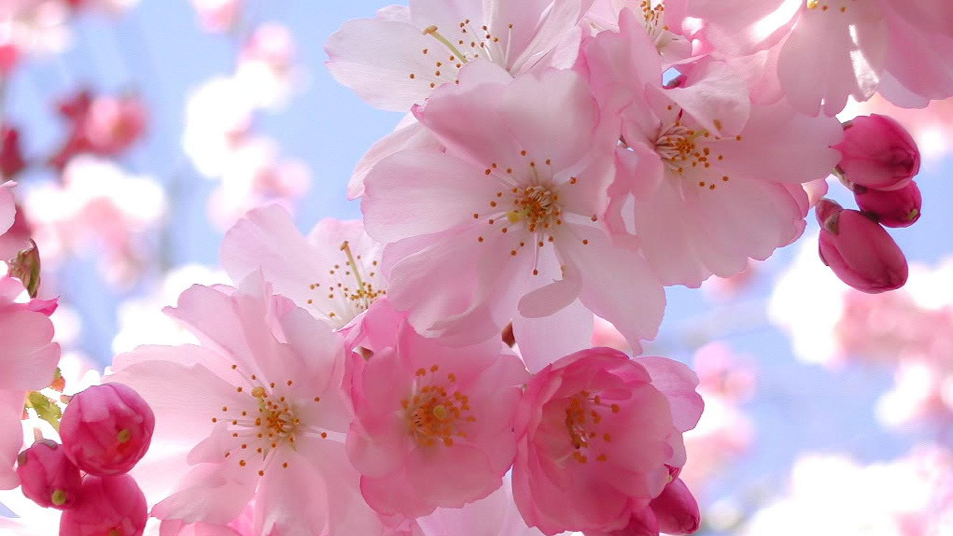 Colors image Beautiful Pink Cherry Blossom Wallpapers HD wallpapers