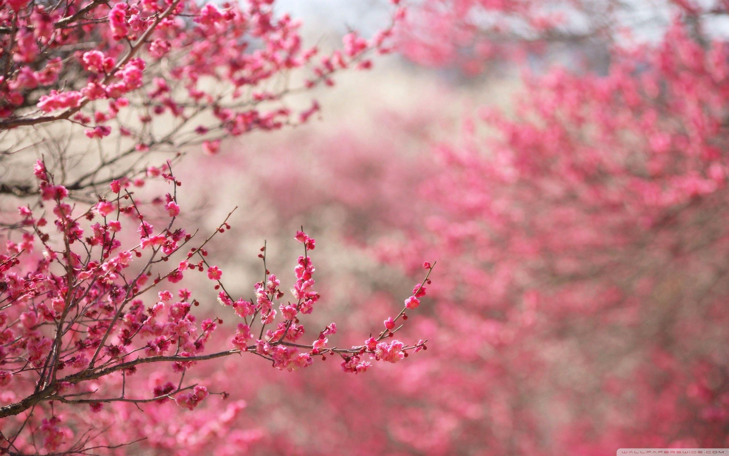 Cherry Blossom Wallpapers Hd Wallpaper Cave