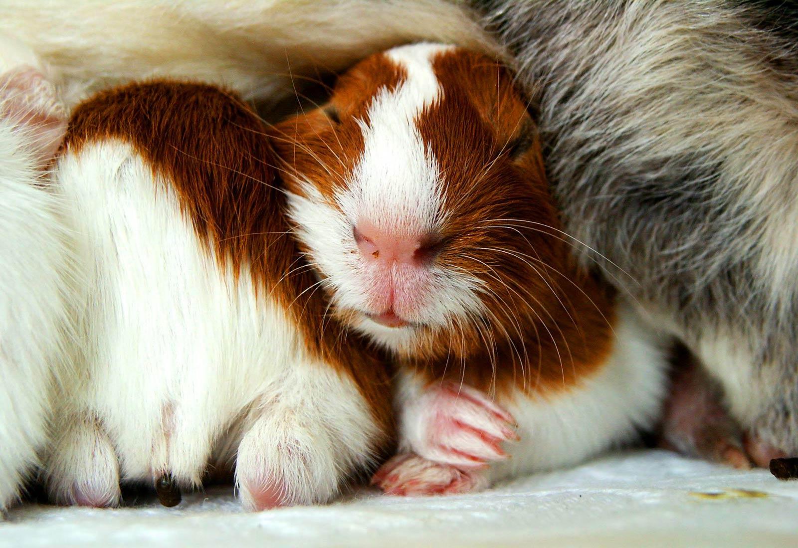 guinea pigs wallpapers wallpaper cave