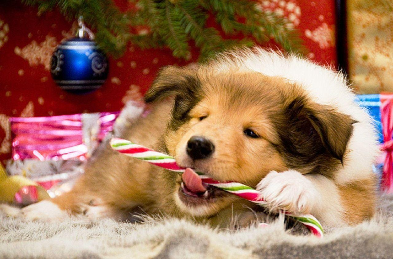 Christmas Dogs Wallpapers - Wallpaper Cave