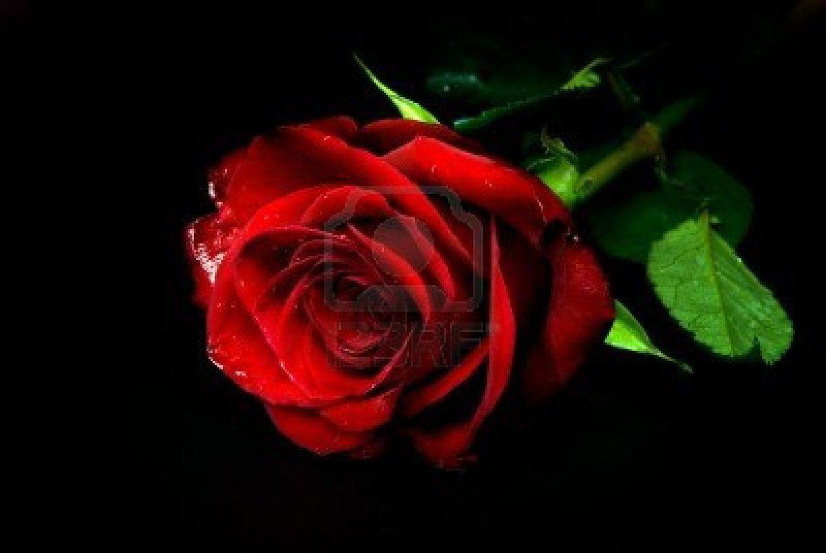 Black And Red Roses Wallpapers - Wallpaper Cave