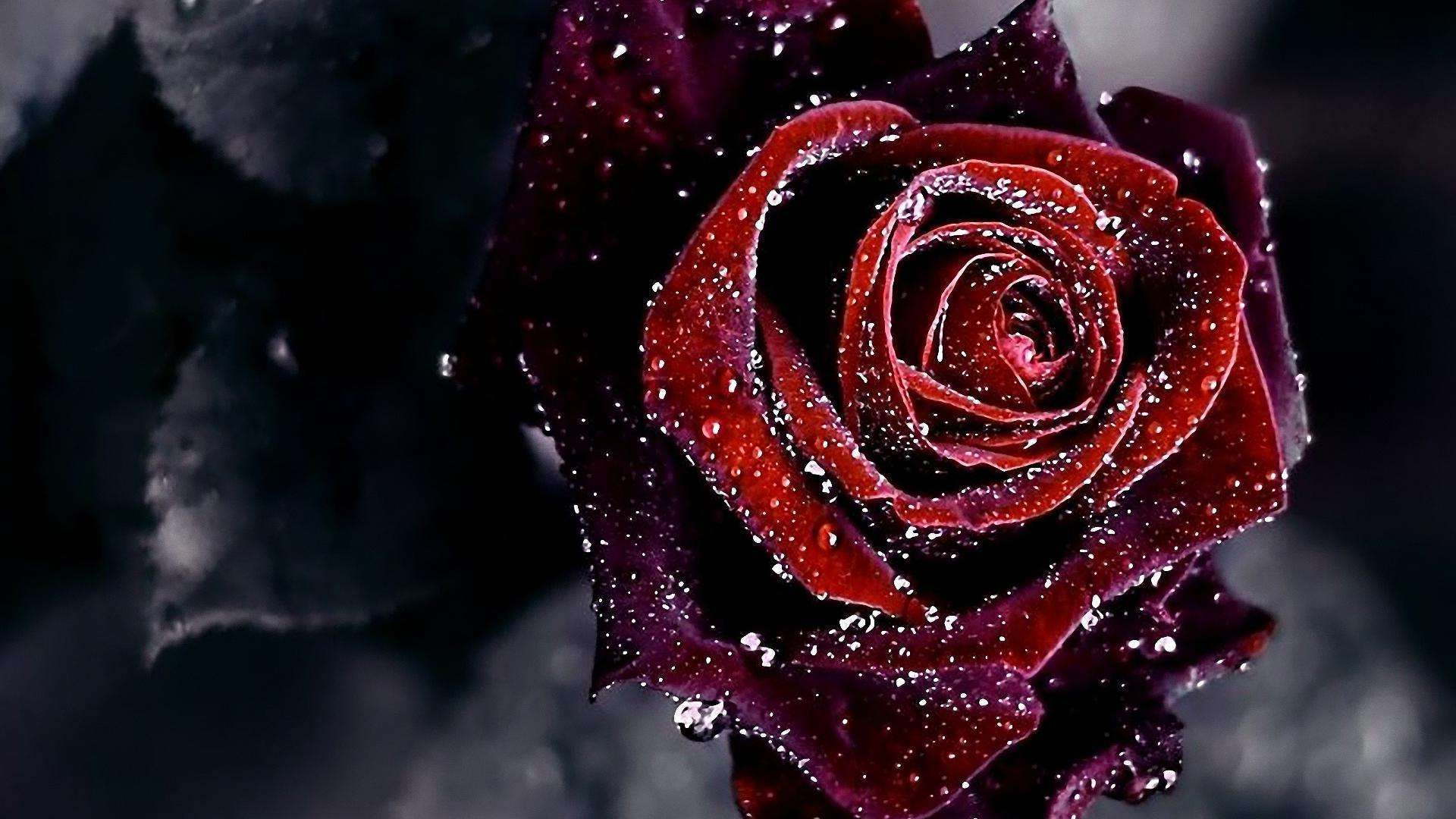 Black And Red Roses Wallpapers