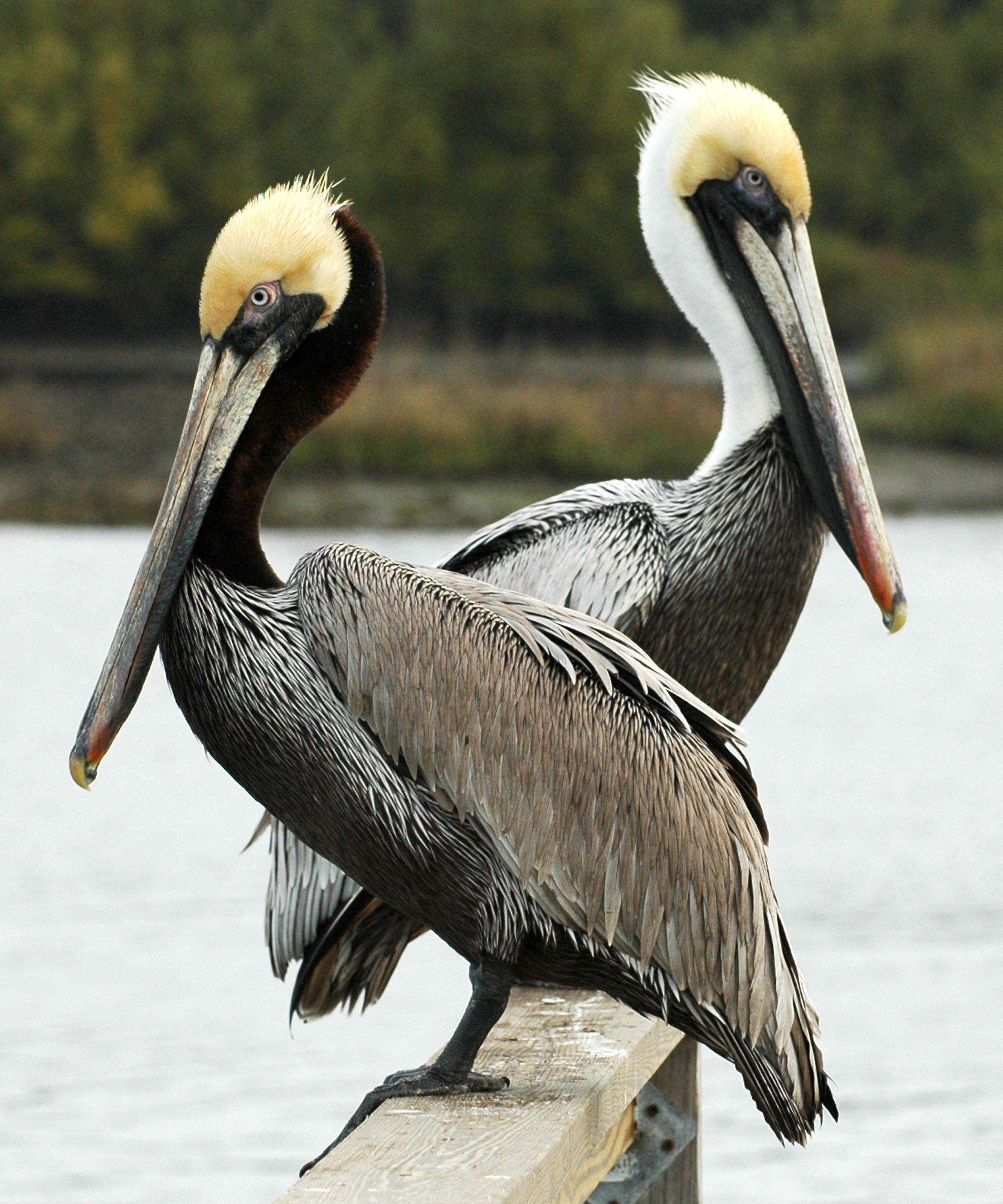 pelicans - 735×883