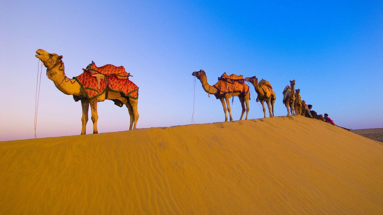 Camel Animals Photos, Image, Pictures, Full Hd Wallpapers Gallery