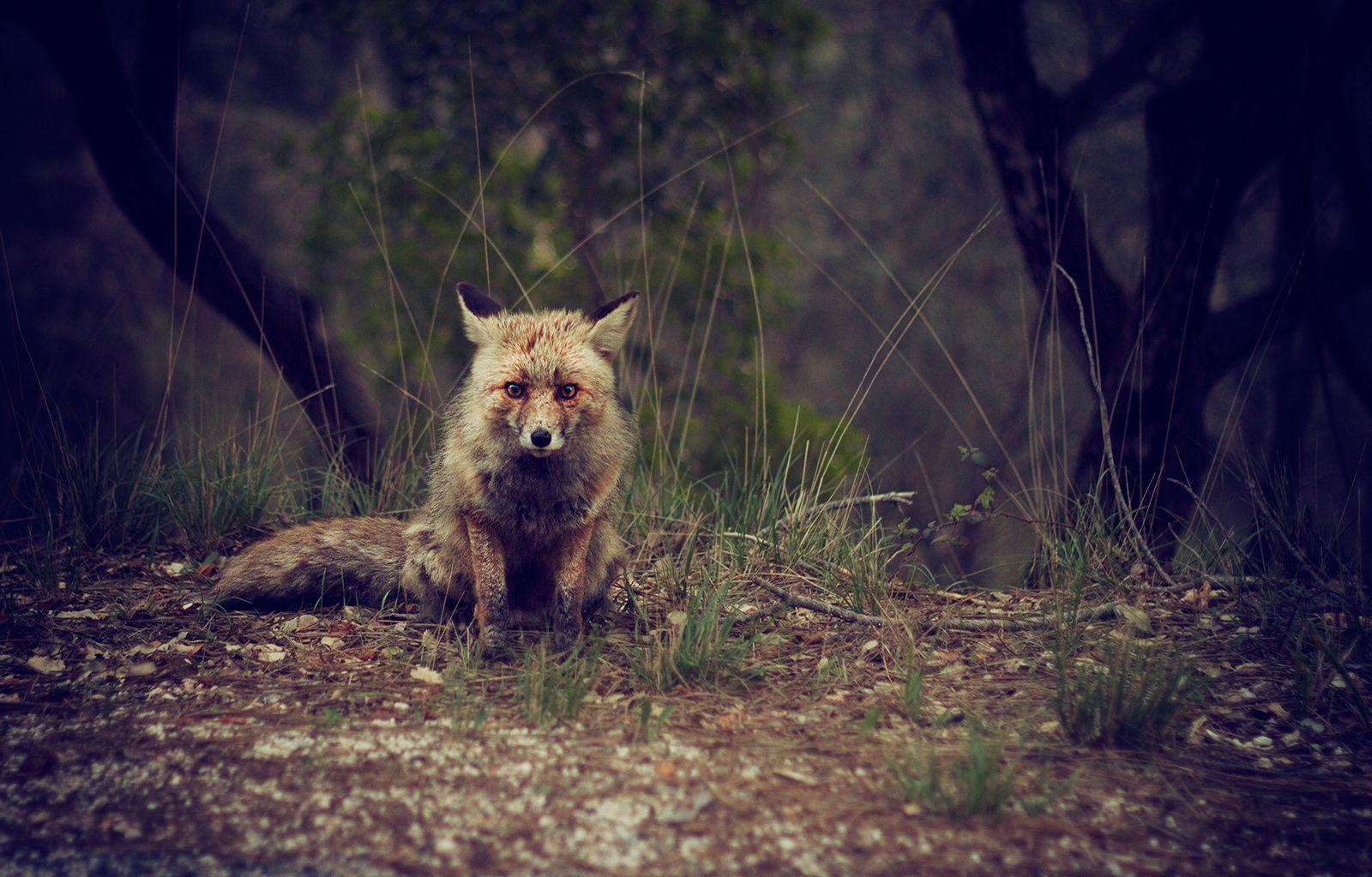 Forest, Animal, Wilderness, Fox, High Quality Animal Photos ...