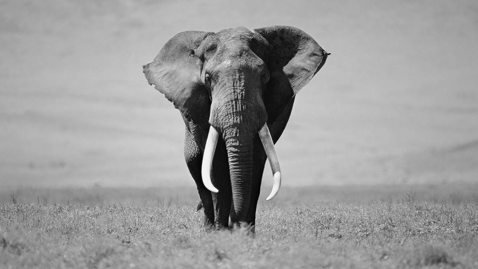 black and white animal photo   Black and white elephant wallpaper ...
