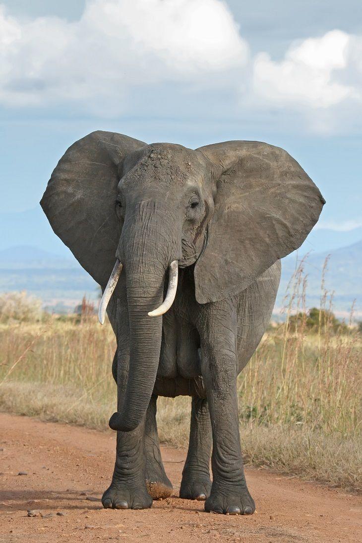 Best 25+ African bush elephant ideas on Pinterest