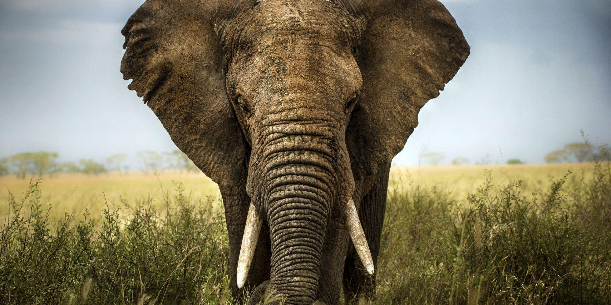 How Many More World Elephant Days Before They're Gone Forever ...