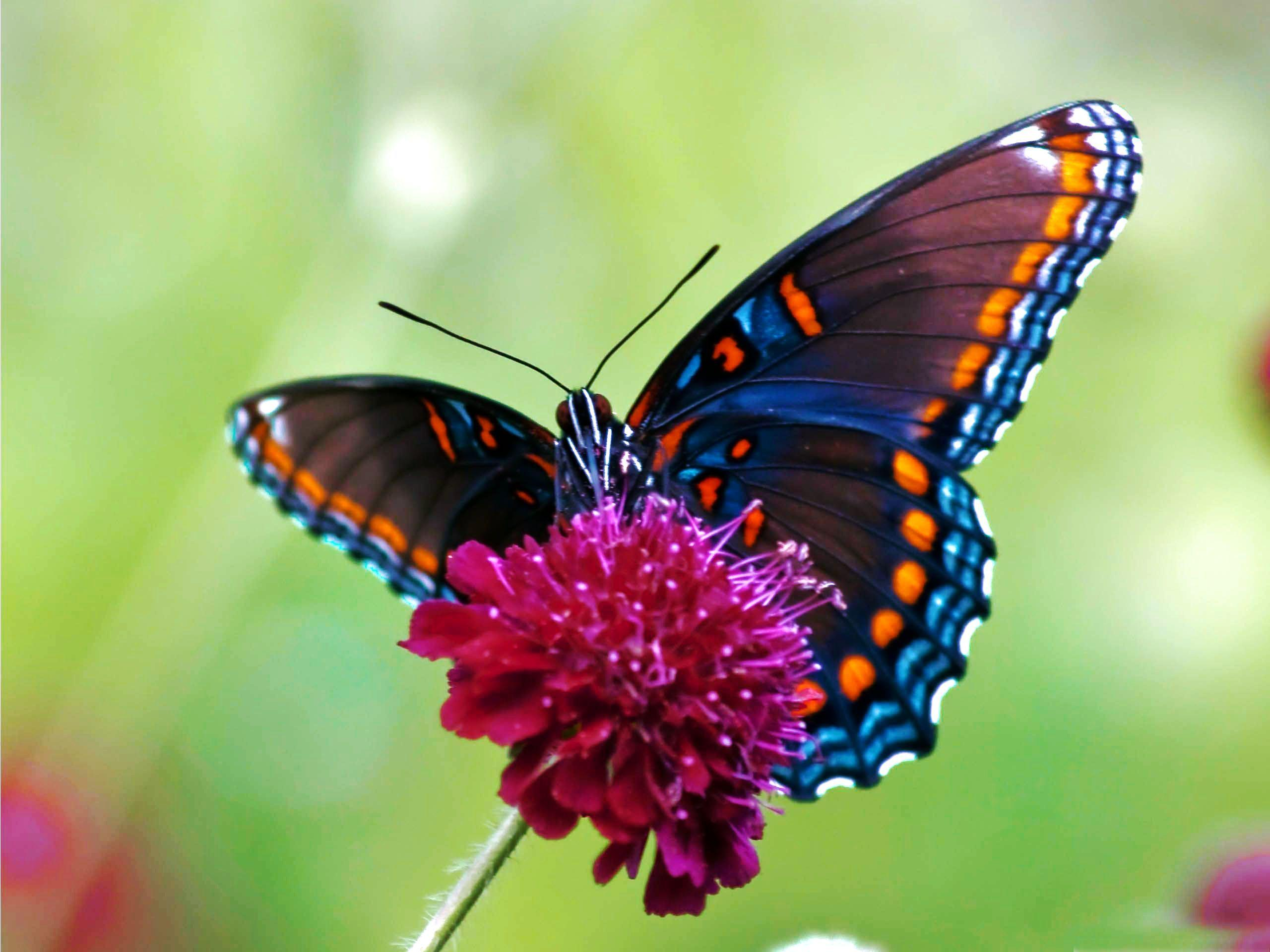 Illustrations Of Butterflies | HD Colorful Butterfly Wallpaper ...