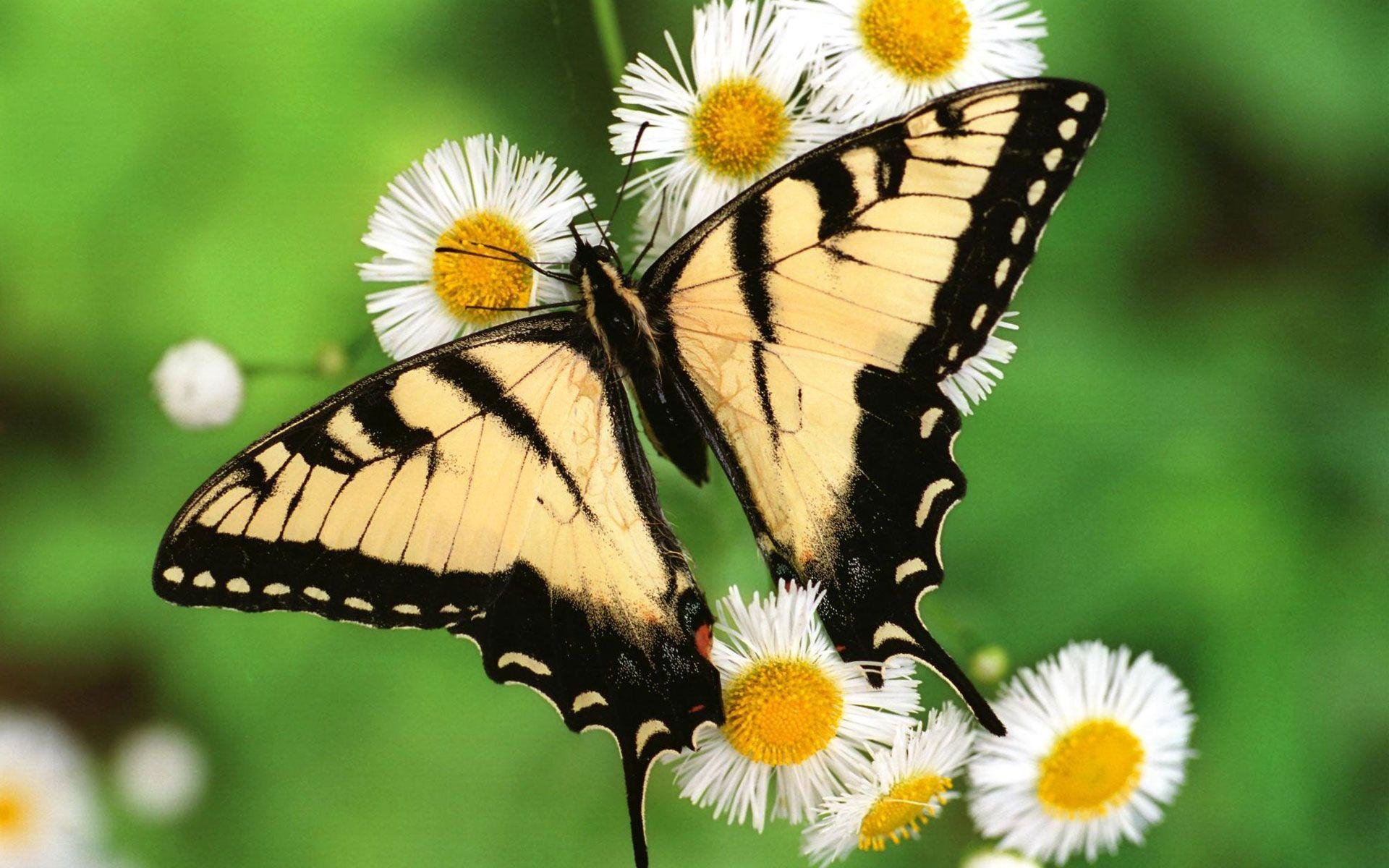 Tiger Swallowtail Butterfly Wallpaper - http://www.56pic.com ...