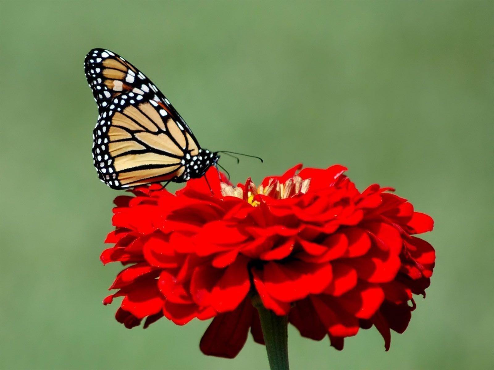 HD Butterfly Desktop Wallpaper - WallpaperSafari