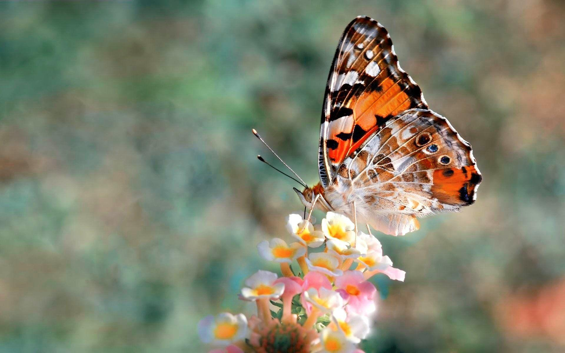 1233 Butterfly HD Wallpapers | Backgrounds - Wallpaper Abyss