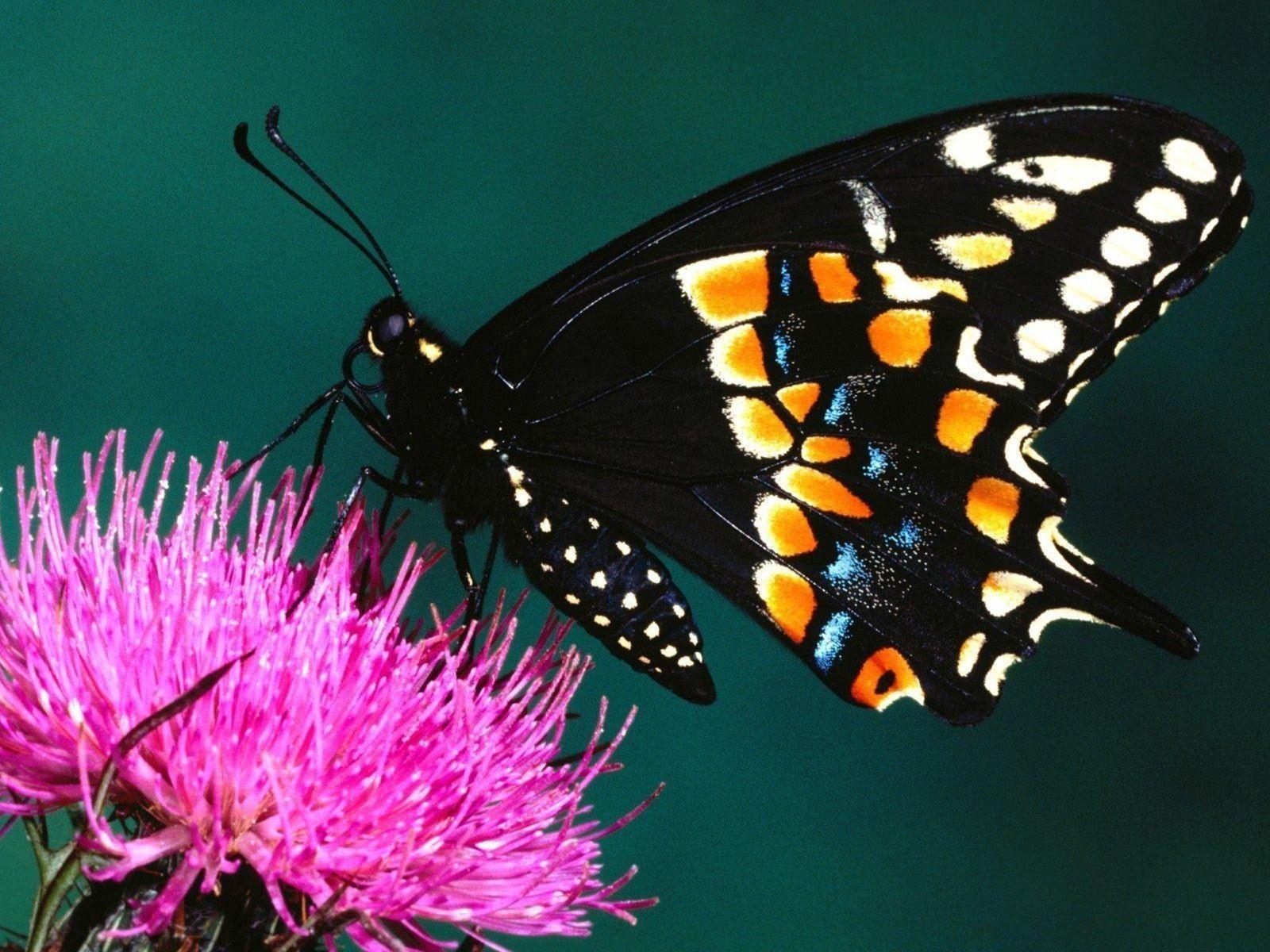 Beautiful Wallpapers Of Butterflies on WallpaperGet.com