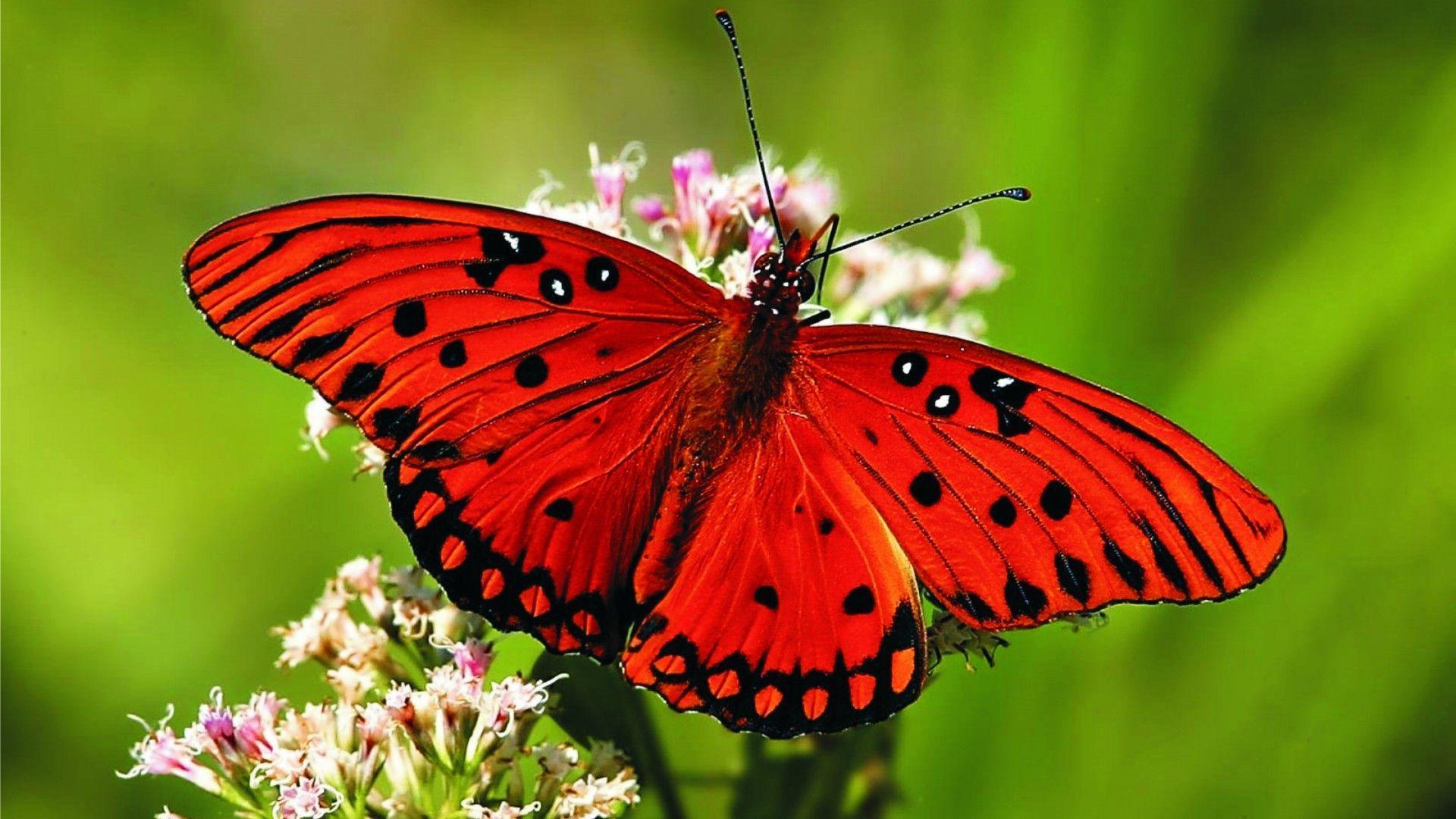 In Gallery: Butterfly Wallpaper Desktop, 40 Butterfly HD ...