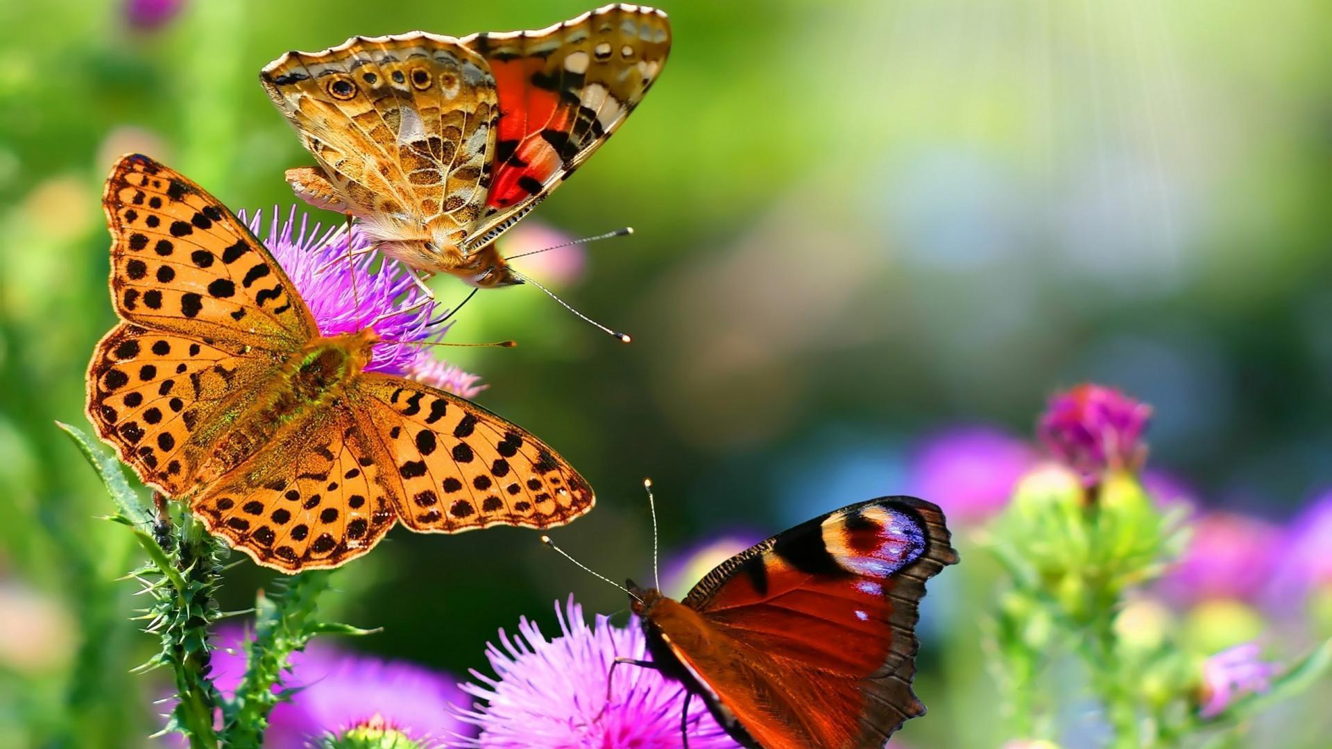 Three Beautiful Butterflies - HD Wallpapers