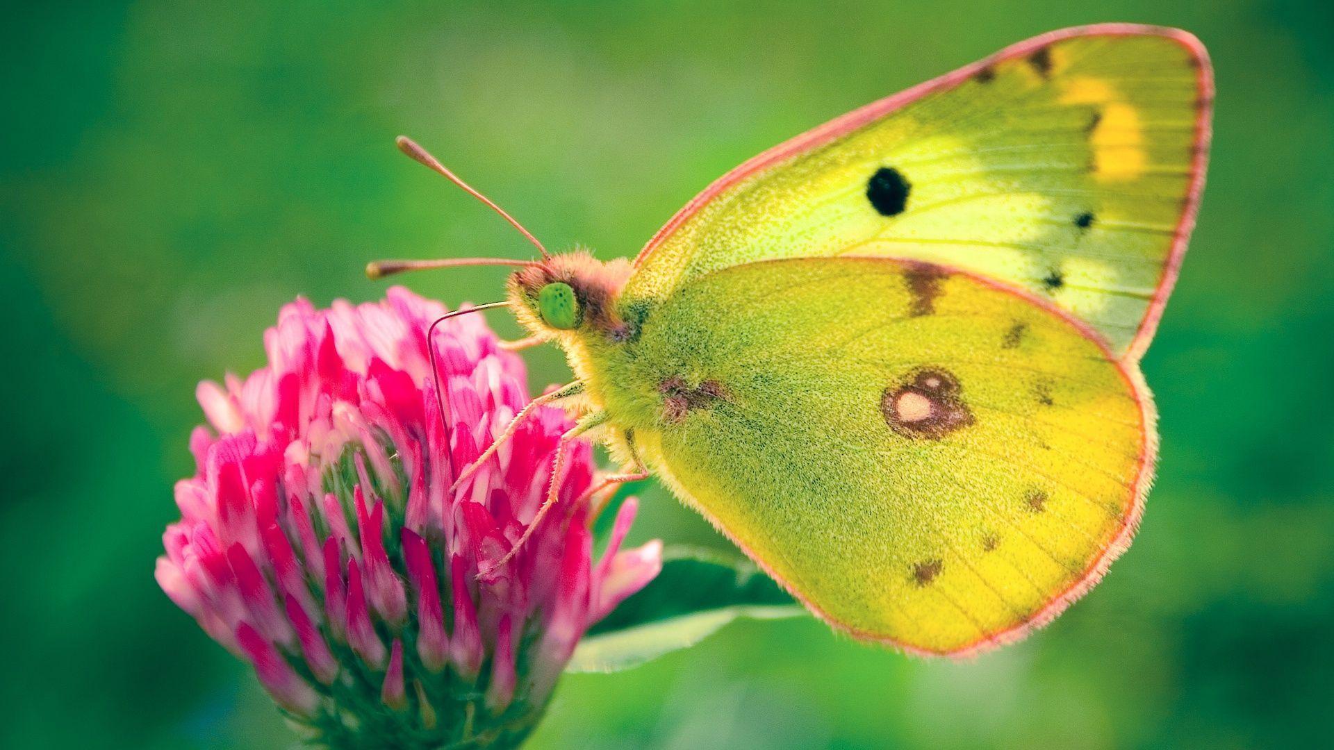 Butterflies High Resolutions Wallpapers.