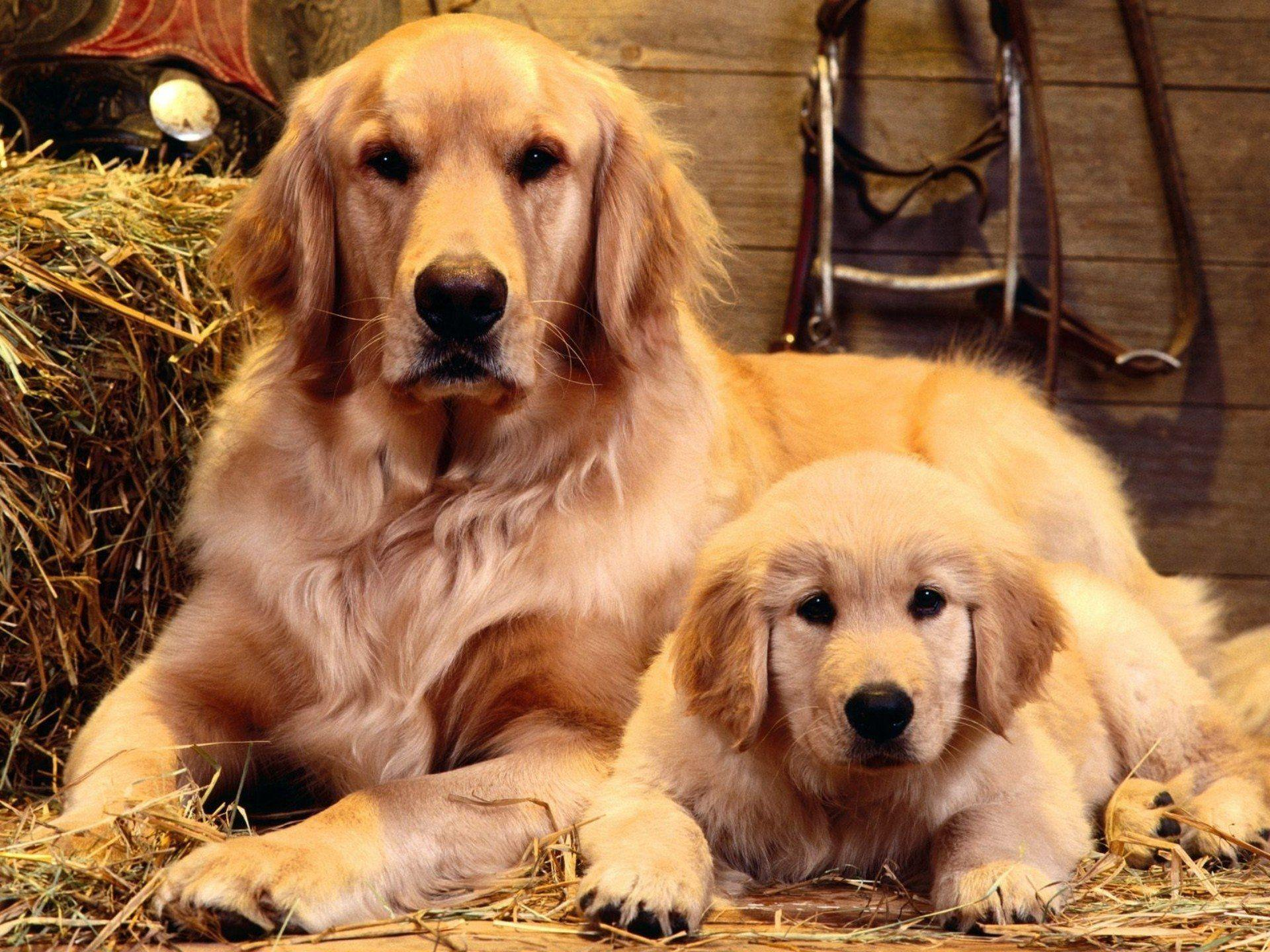 Golden Retrievers Wallpapers Wallpaper Cave