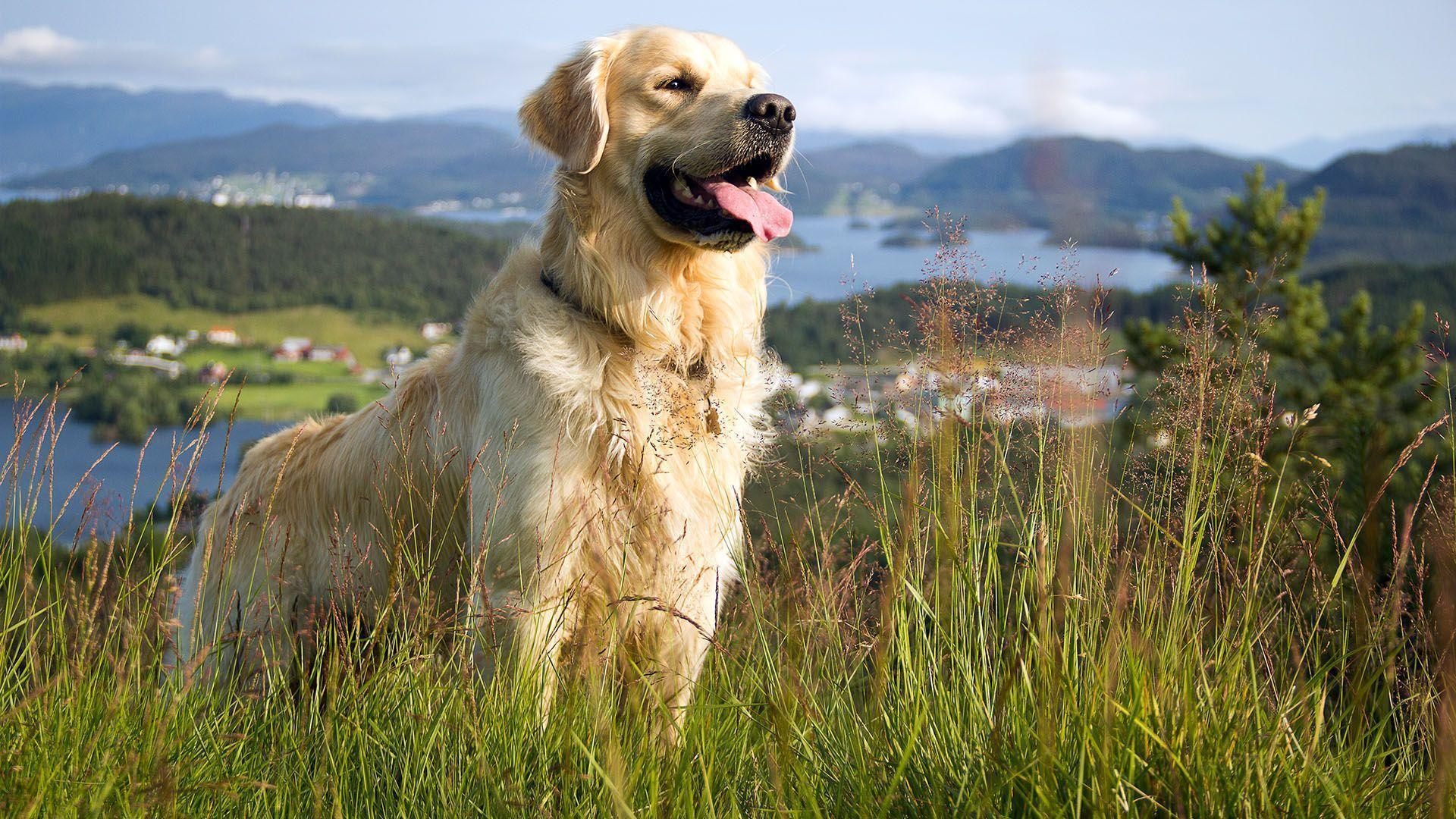 Golden Retriever Hd Wallpapers Wallpaper Cave