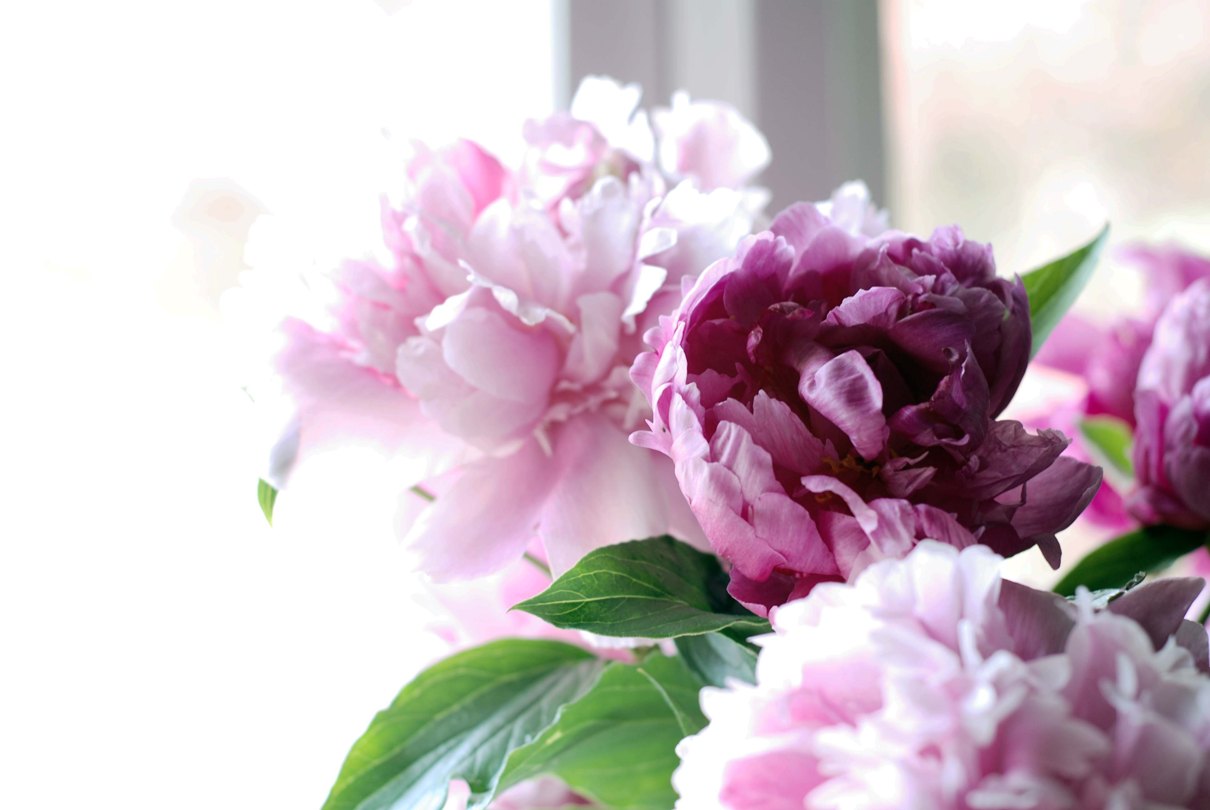 peony wallpaper cnsoup collections