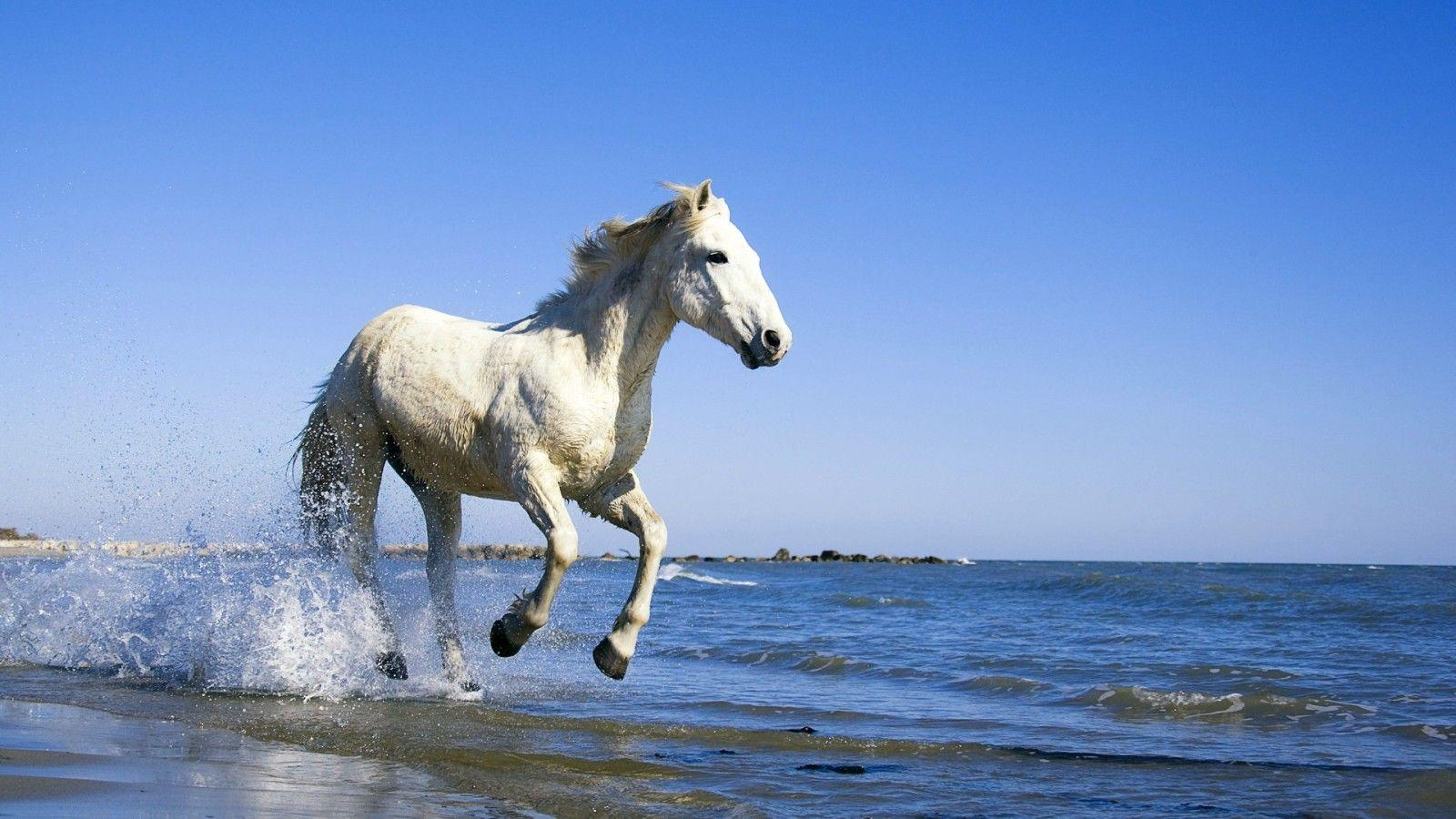 Horses White running on beach pictures images