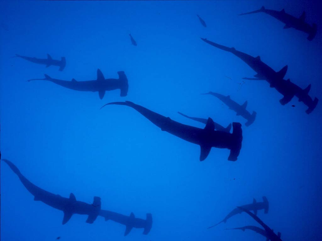 Hammerhead Shark Wallpaper