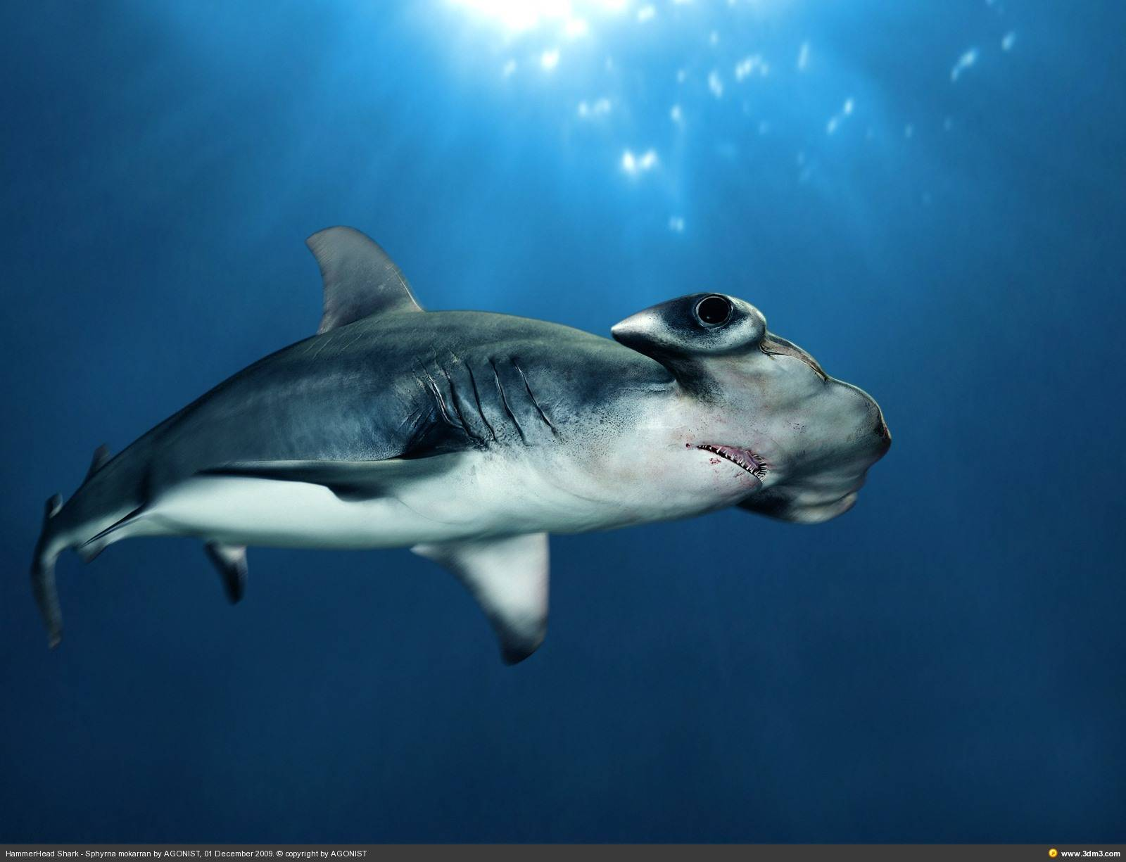 great hammerhead shark pictures - HD1280×900