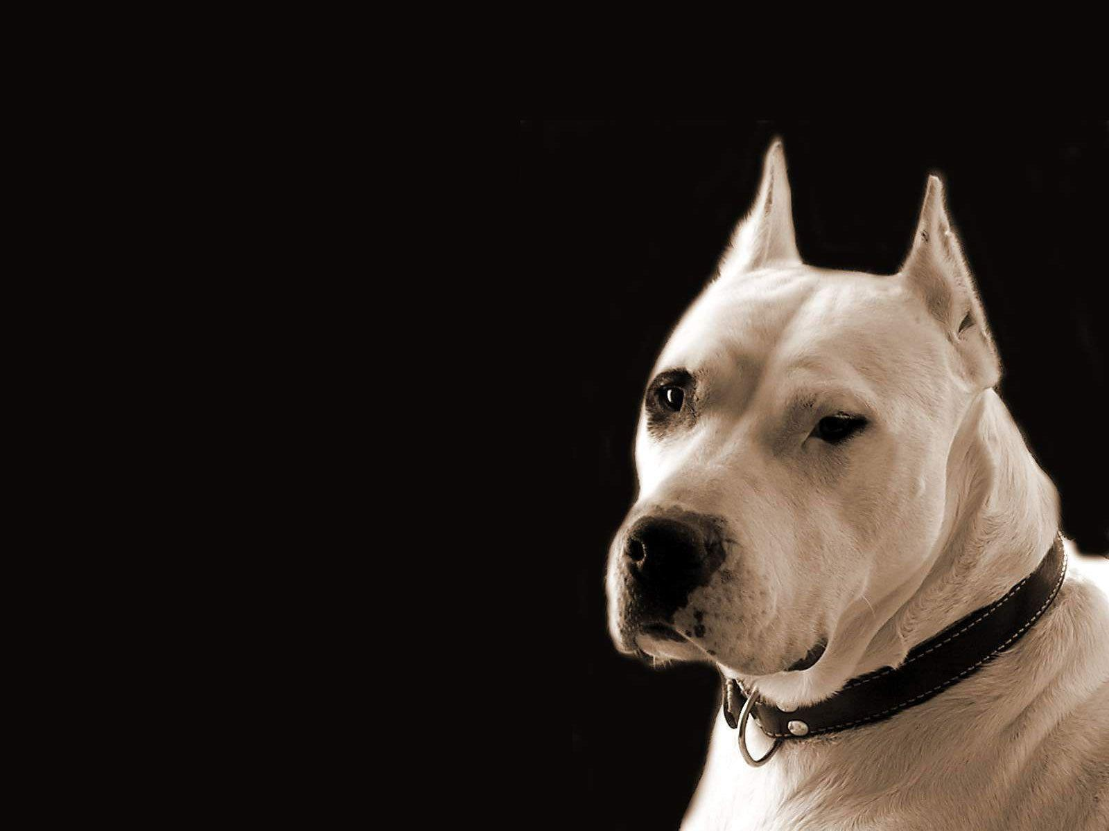 Dogo Argentino Wallpapers HD Download