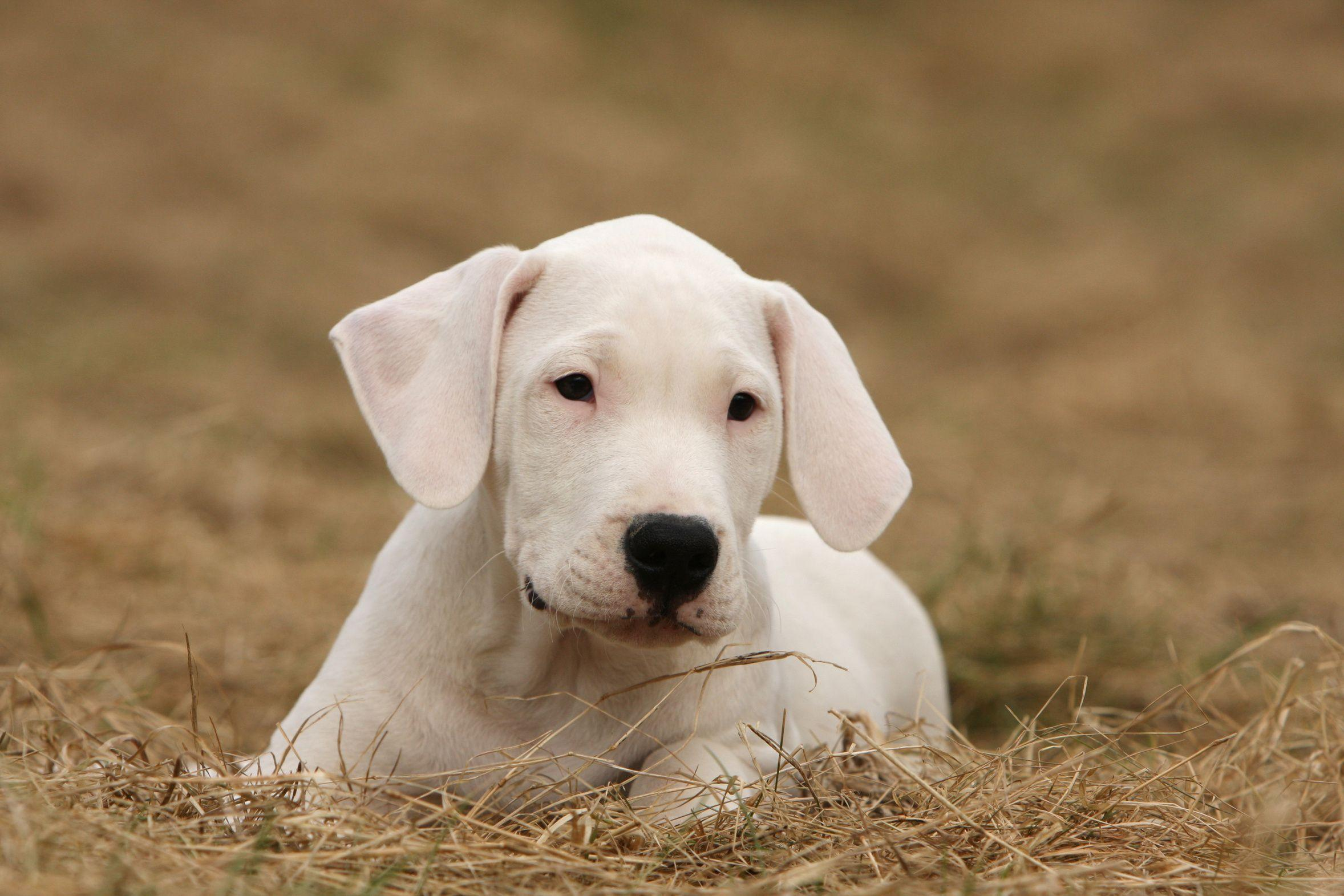 Dogo Argentino Puppy on dried grass wallpapers and images ...