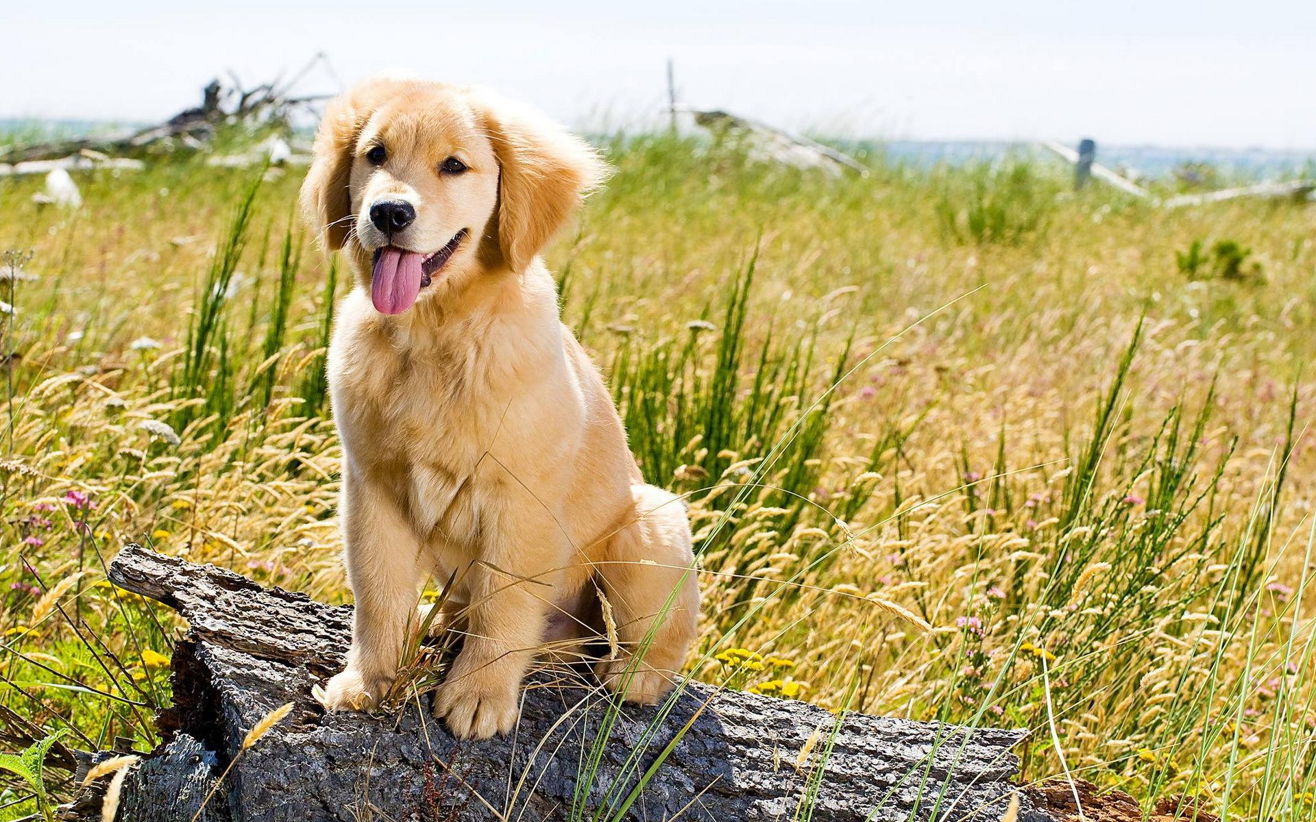 Golden Retrievers Wallpapers