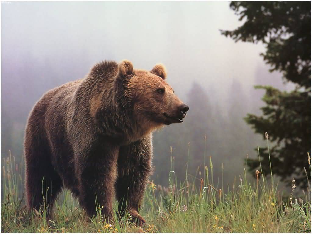 Grizzly Bear Wallpapers Group with 74 items