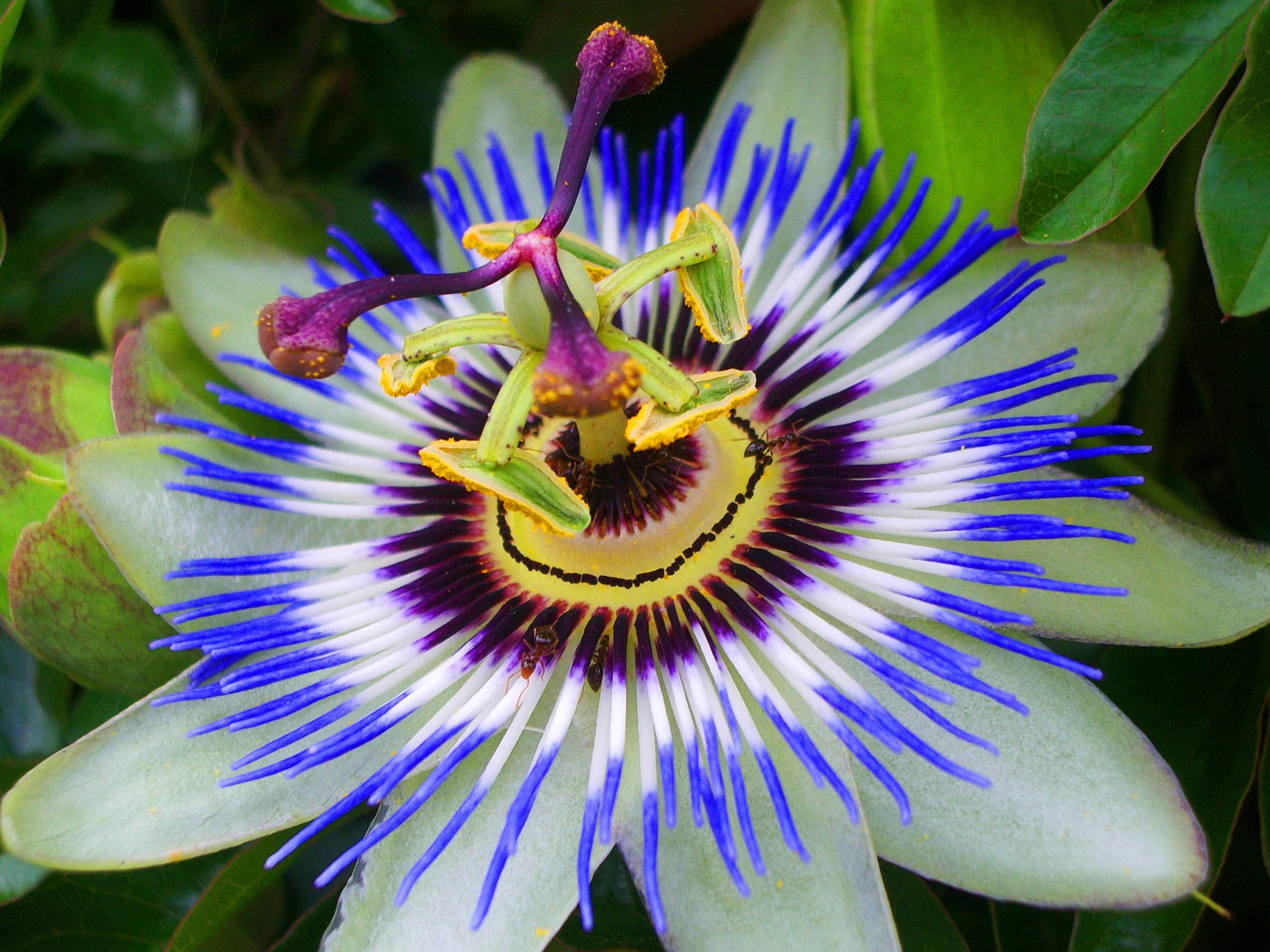Passion fruit flower photo Black Pictures by Darryl Pinckney The New York Review of Books