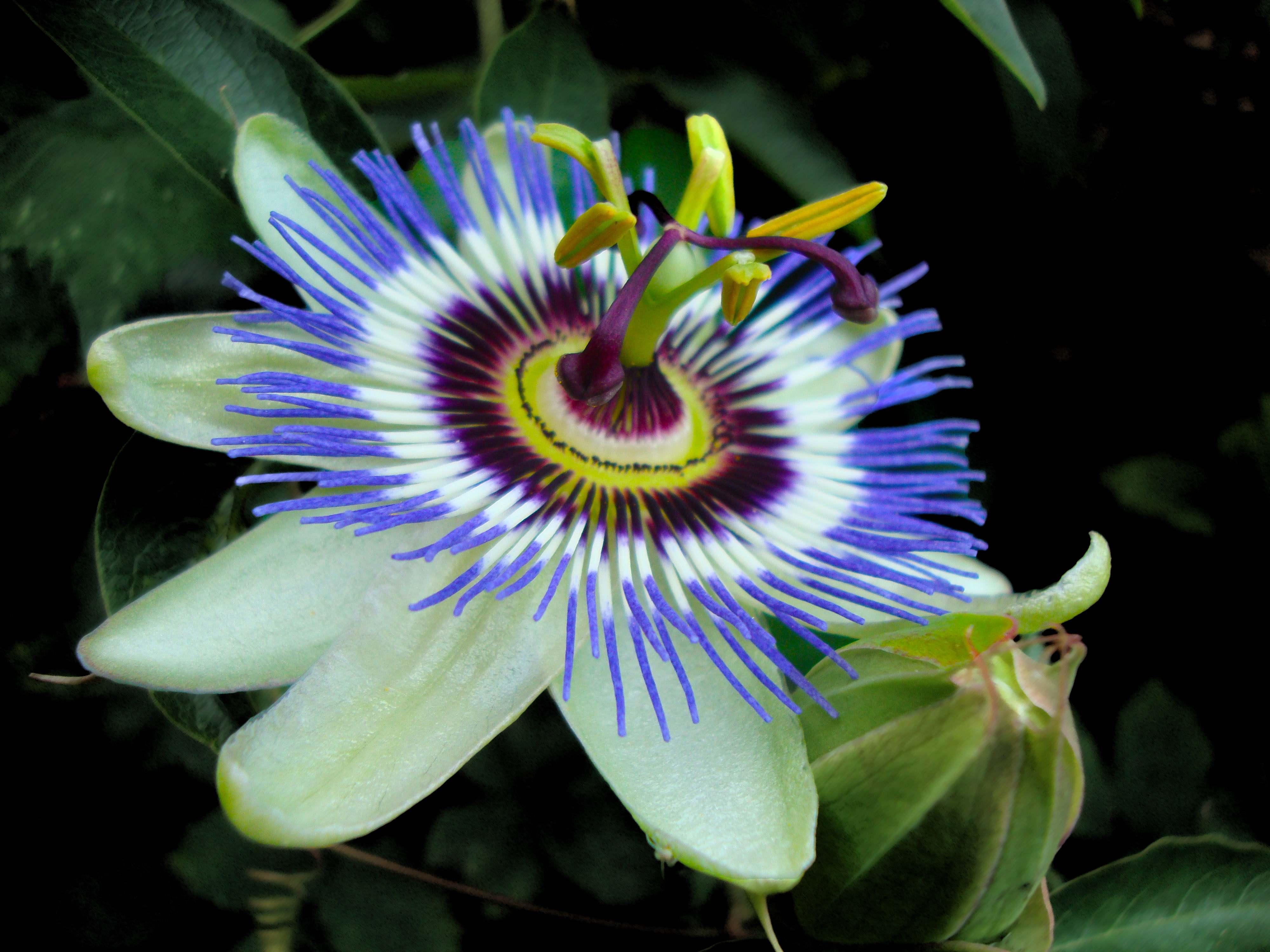 Passion Fruit Flower Images Hd