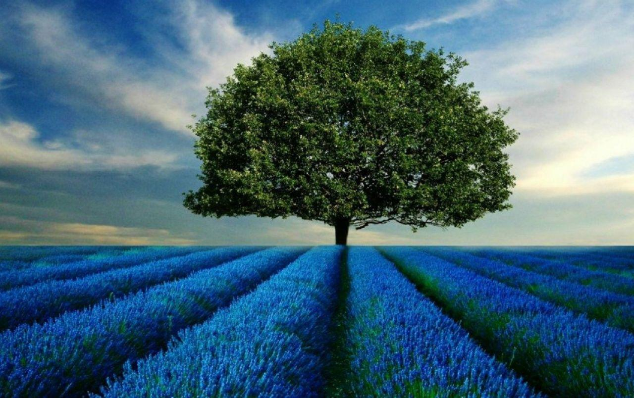 Tree & Blue Fields wallpapers | Tree & Blue Fields stock photos