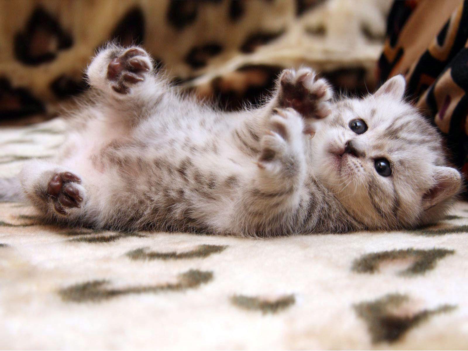 baby cat wallpapers - wallpaper cave