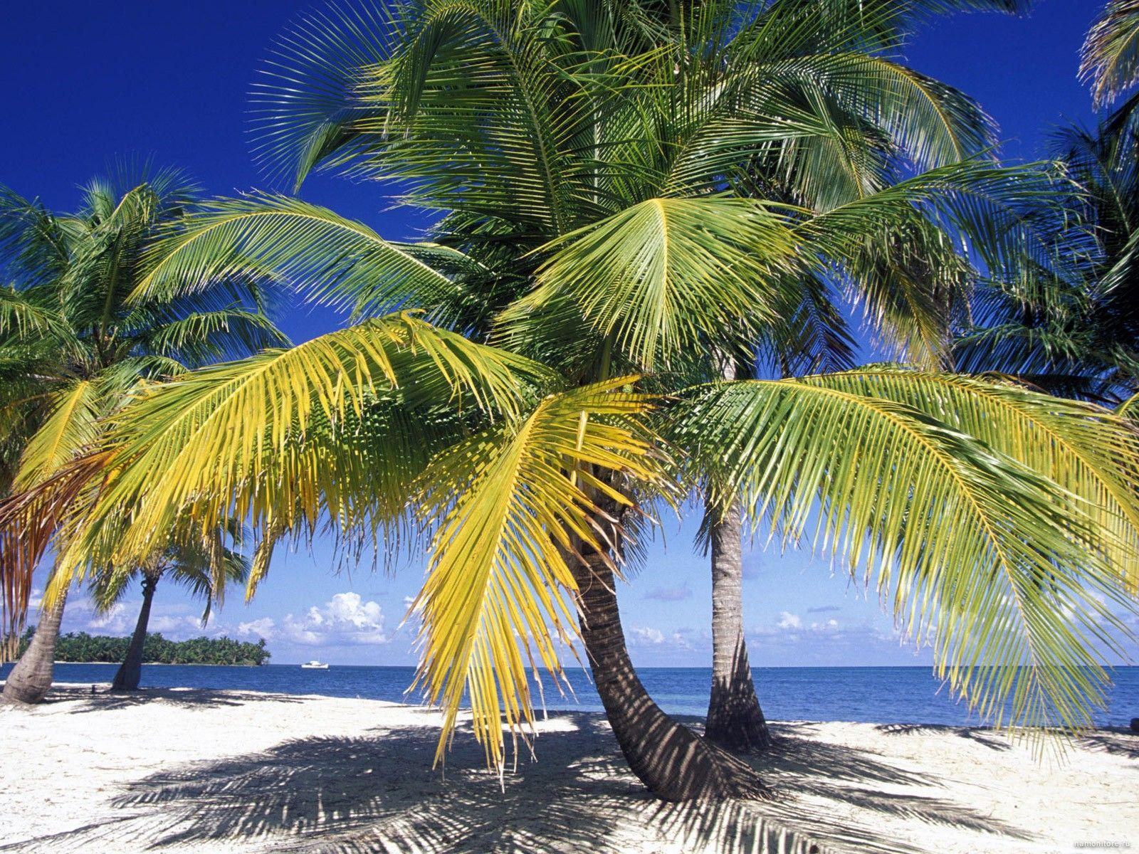 Palm trees in Belize, coast, nature, palm trees, tropics 1600x1200