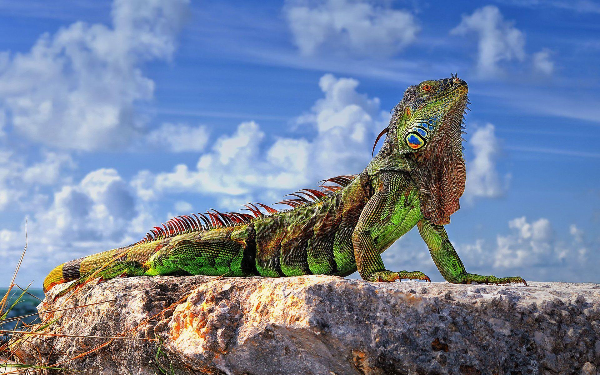 common iguana green iguana lizard stones sky HD wallpapers