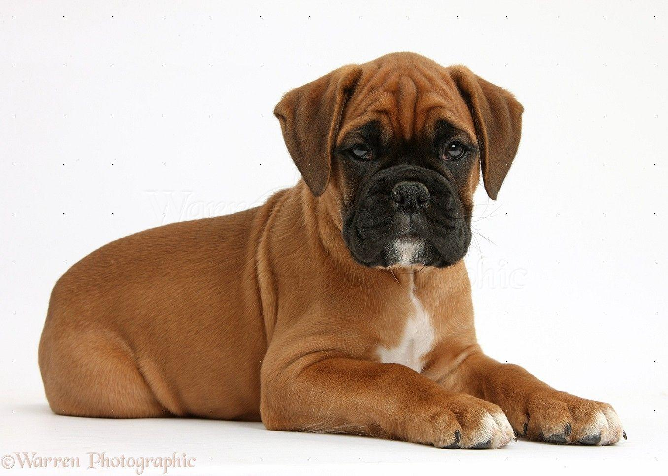 Boxer Dog Wallpapers - Wallpaper Cave  |Boxer Puppies Wallpaper