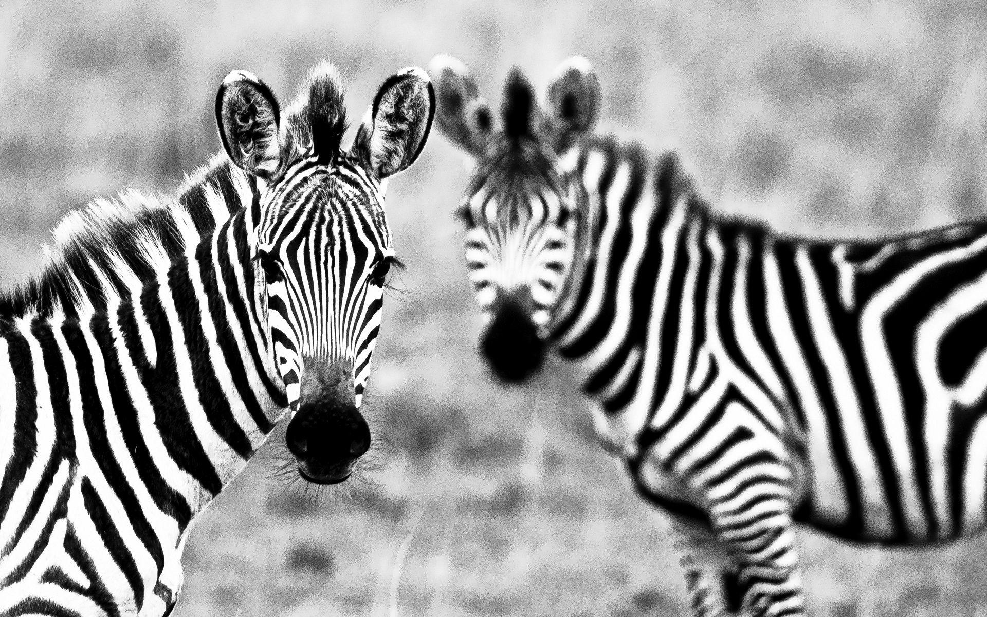 Download Animals Zebra Wallpapers Image Photos And Pictures