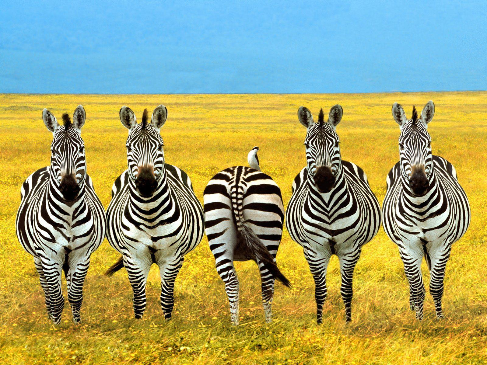 Zebra Desktop Wallpapers