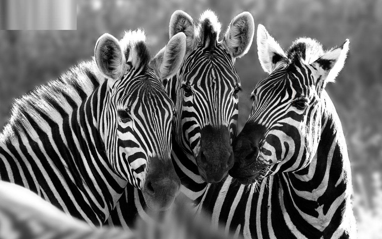 Stunning zebra hd free wallpapers download