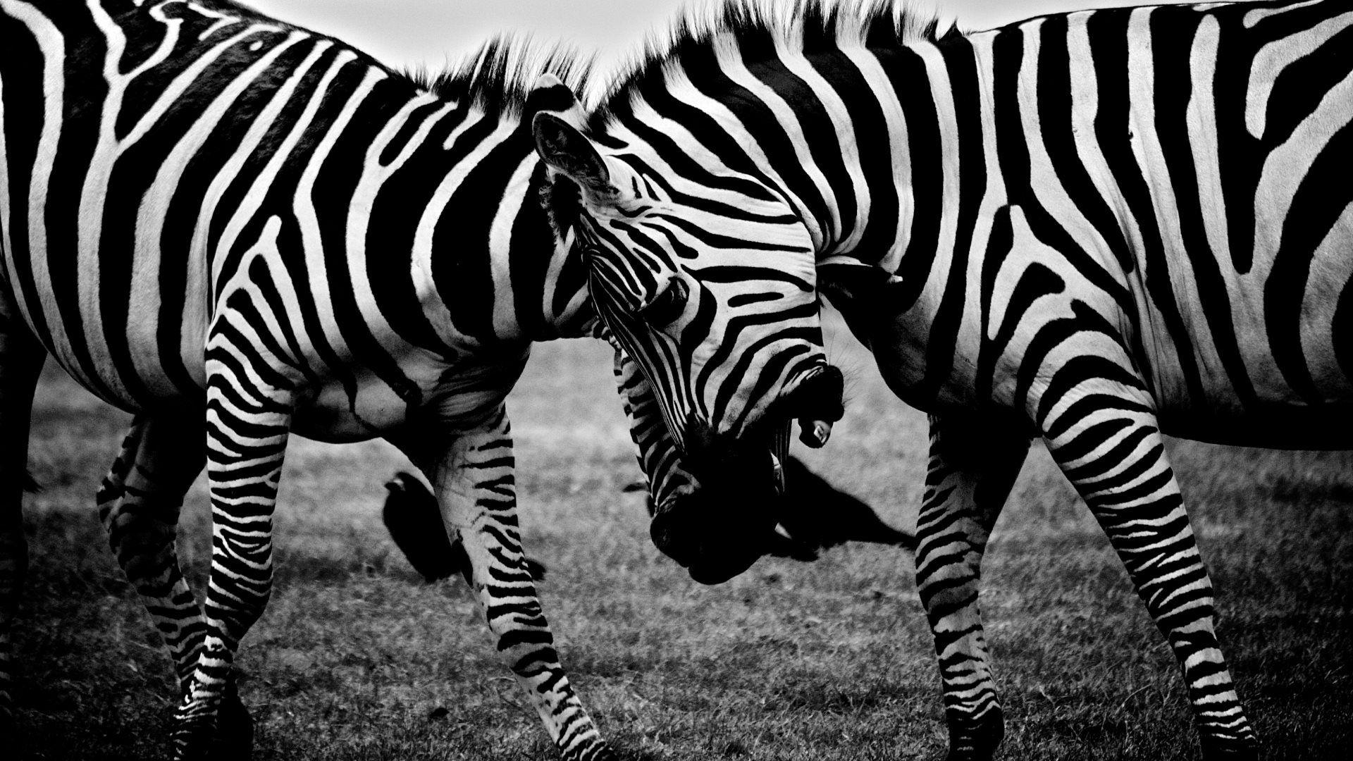 Animals > Zebras Covers, Wallpapers and Backgrounds on MobDecor