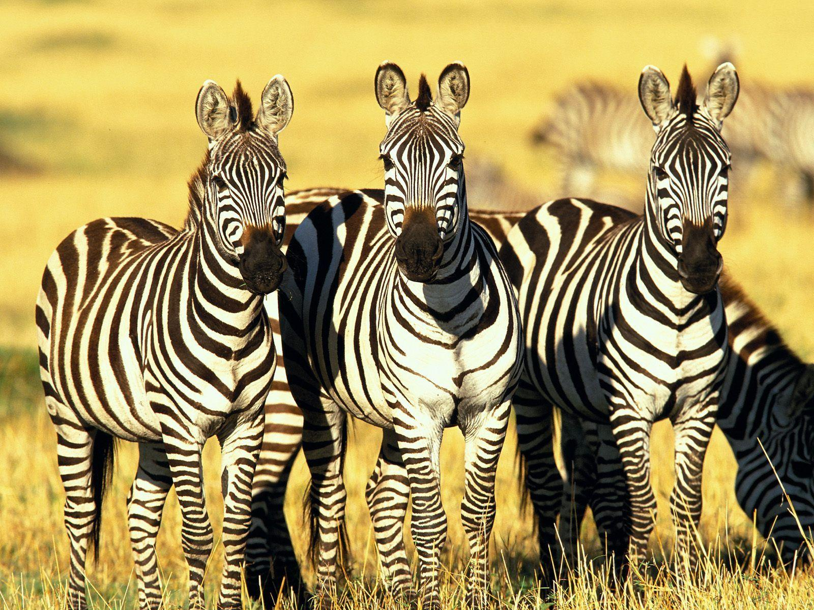 Burchell's Zebras Masai Mara Kenya Wallpapers