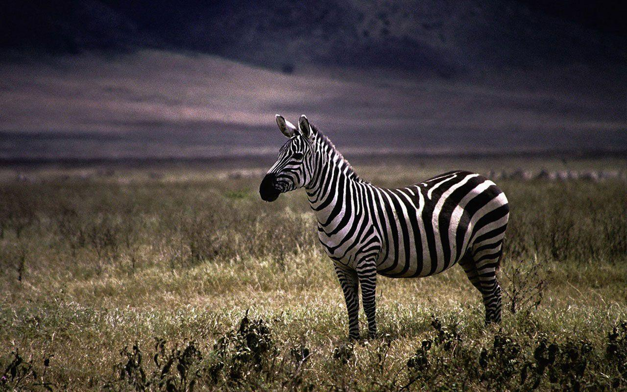 Zebra Print Desktop Wallpapers Free wallpapers download 1920×1080