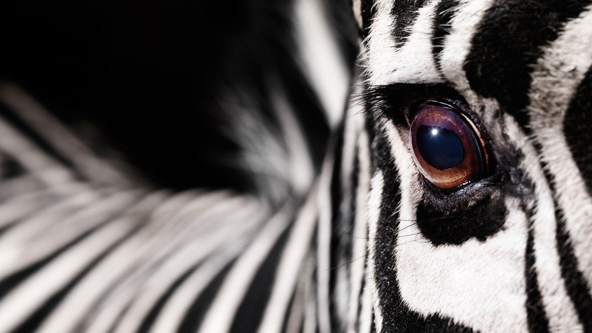 Download Zebra Wallpapers App Gallery 1920×1200 Zebra Image