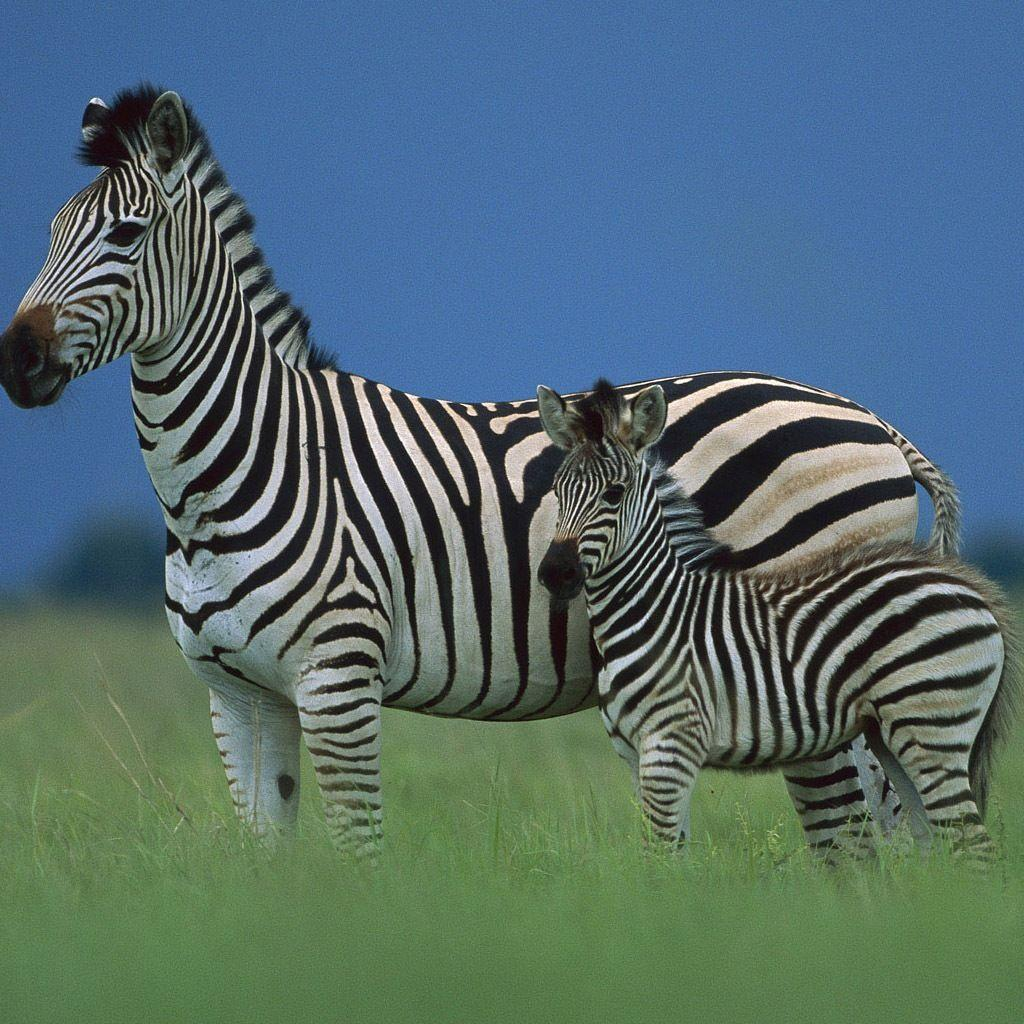 Baby Zebra Facts, Wallpapers, Info on Stripes & What It's Called
