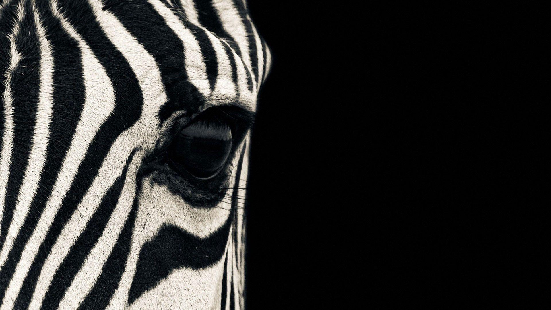 hd pics photos beautiful zebra face close up macro wild animals hd