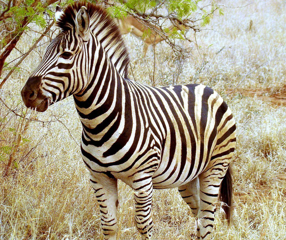 Zebra Animals High Defination Wallpapers Hq Download