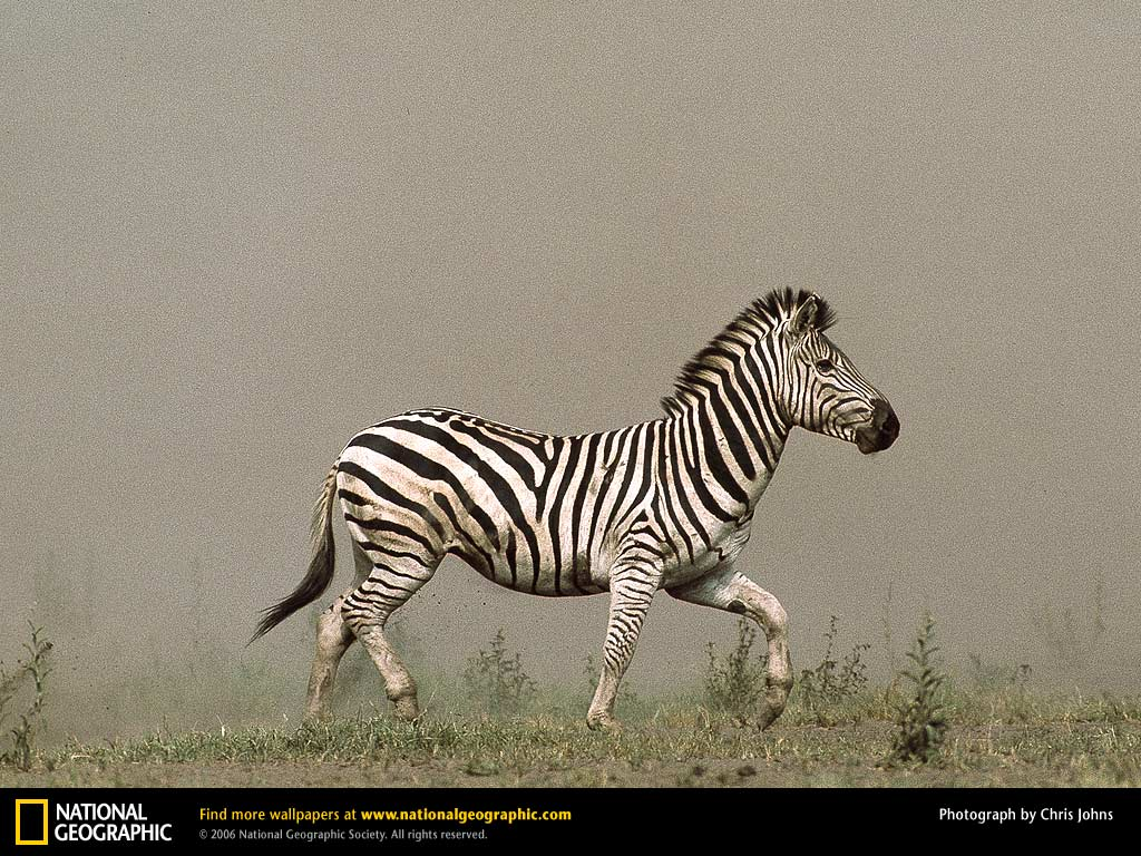 Zebra Picture, Zebra Desktop Wallpaper, Free Wallpapers, Download
