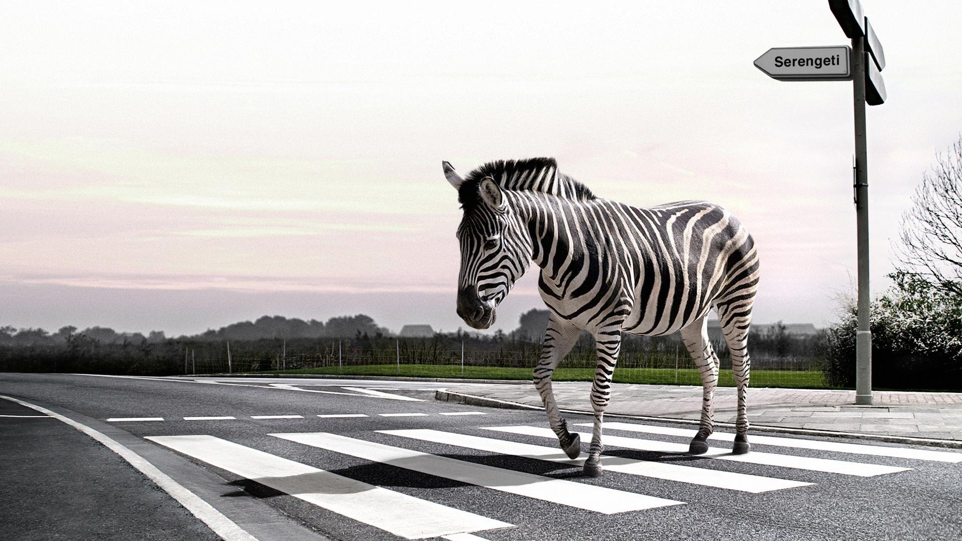 Desktop Zebra wallpapers HD