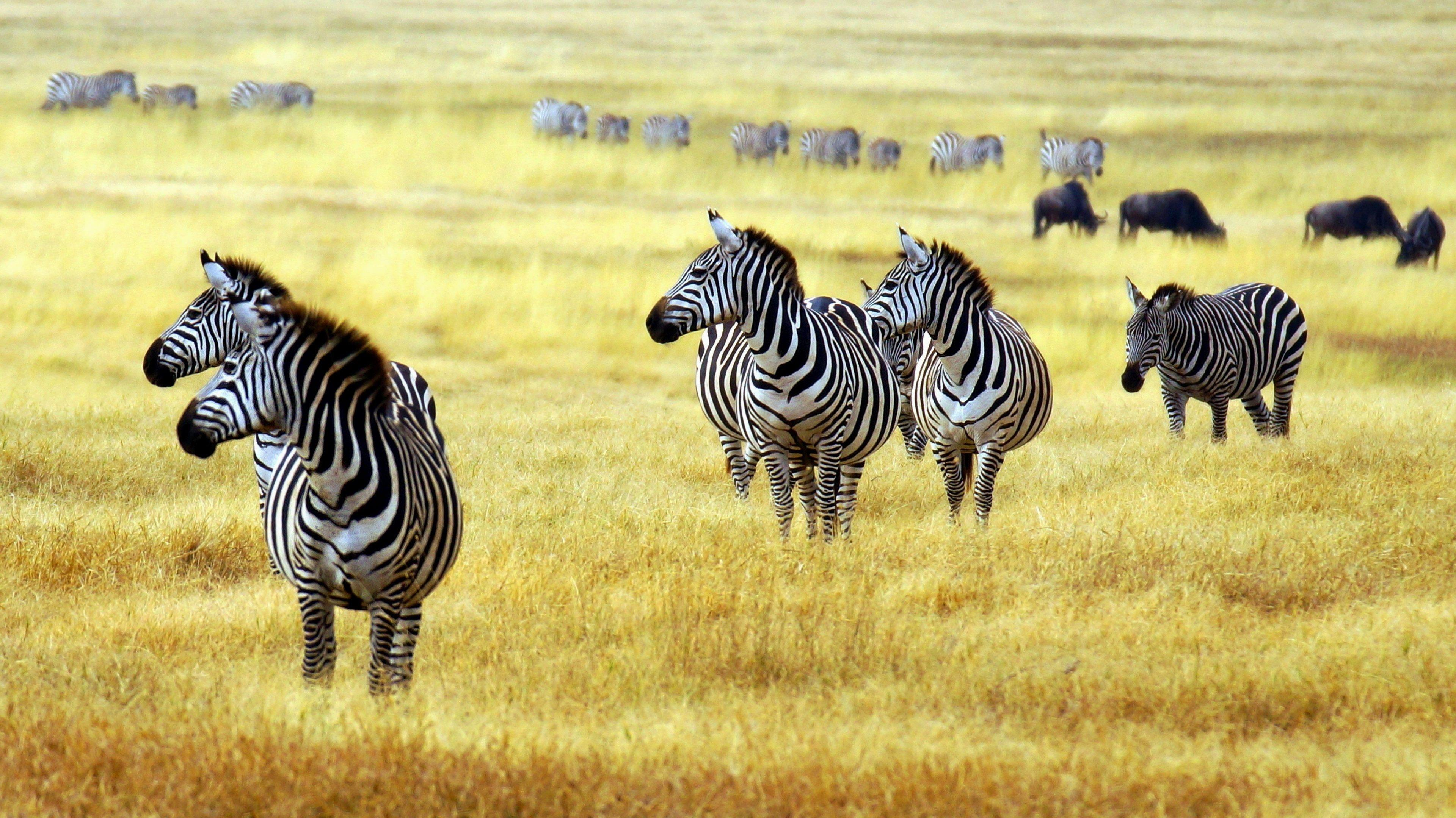 Zebras In Arusha National Park Wallpapers